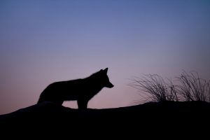 Bild vom Wolf